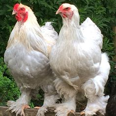 Isabel Brahma hen and rooster Chicken Treats, Hen Chicken, Chicken Humor, Black Chickens, Chickens And Roosters, Best Egg Laying Chickens, Raising Chickens, Backyard Birds, Chickens Backyard