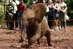 Dumbo Had A Happy Ending  He may not be in the wild, but this orphaned baby elephant has at least found himself in an environment where he can grow up in safety. In this picture taken yesterday (April 21, 2013), the young elephant is shown frolicking at the David Sheldrick Wildlife Trust Nursery inside Nairobi National Park. The nursery cares for baby elephants and rhinos that have been orphaned by poachers, lost, or abandoned for natural reasons.   Photo: Darrin Zammit Lupi/Reuters