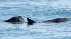 You would think the most endangered sea mammal in the world would be a cause célèbre but, as Sharyn Alfonsi reports, that's not the case with the vaquita