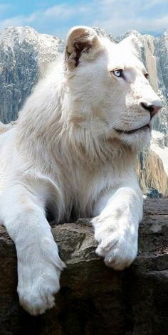 Snowy white lion