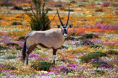 Während wir uns gerade an der Blütenpracht erfreuen, muss das südliche #Afrika noch ein halbes Jahr auf den Frühling warten. Im #Namaqualand ist er dafür umso spektakulärer. www.africa-royal-tours.de