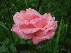 Pink dew-covered rose