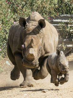 Mazal tov to Israeli Safari& White Rhino . Power Animal, My Animal, Wild Life, Cute Baby Animals, Animals And Pets, Wild Animals, Beautiful Creatures, Animals Beautiful, African Animals