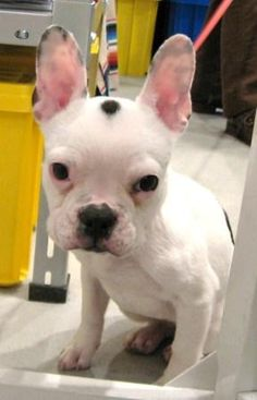 Ms.Aimer, French Bulldog