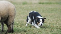 No one family of animals in the world is not as varied as dog. According to purpose, appearance and size, there are lots of dog types. Cattle Dogs, Types Of Dogs, Animals Of The World, Dog Breeds, Corgi, Corgis, Dog Types, Australian Cattle Dog, Horse Breeds