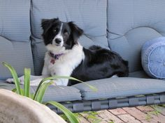 And they take your spot on the couch! | 25 Reasons Why No One Should Ever Have A Border Collie As A Pet