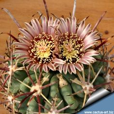 Sclerocactus uncinatus subs. crassihamatus var. mathssonii