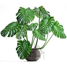 Mexican Breadfruit (Monstera deliciosa) for sale. Mexican Breadfruit (Monstera deliciosa) is a species of tropical flowering plant native to southern Mexico Tropical House Plants, Tropical Garden, Monstera Deliciosa, House Plants For Sale, Endangered Plants, Plant Order, Low Light Plants, Rare Plants, Different Plants