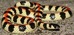 Homoroselaps lacteus (Spotted Harlequin snake)