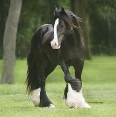 Gypsy Vanner Horse To an untrained eye like mine there looks like a little resemblance with a Clydesdale. Gypsy Vanner Horse To an untrained eye like mine there looks like a little resemblance with a Clydesdale. Big Horses, Black Horses, Horse Love, Most Beautiful Animals, Beautiful Horses, Animals And Pets, Cute Animals, Gypsy Horse, Gypsy Vanner Horses