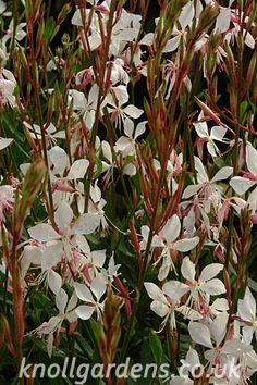 Gaura Vanilla | Knoll Gardens | Ornamental Grasses and Flowering Perennials