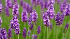 Mosquitoes Be Gone – Essential Plants for Your Garden