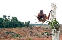 Indonesiens Präsident Joko Widodo will Biotreibstoff massiv subventionieren. Umgerechnet 1,5 Milliarden Euro sollen in die Kassen der Konzerne fließen. Die Palmölindustrie reibt sich die Hände - noch mehr Regenwald ist in Gefahr. Bitte unterstützen Sie mit Ihrer Unterschrift die indonesischen Regenwaldschützer dabei, die Subventionierung zu verhindern: https://www.regenwald.org/aktion/986/milliarden-subvention-fuer-die-br-palmoel-konzerne-nein-danke