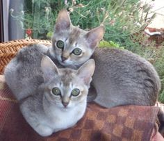 Singapura Cat Breed - Cat Information & Pictures