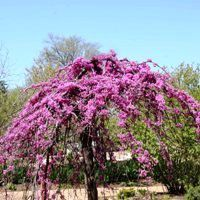Nature Hills Nursery carries an elegant Lavender Twist Weeping Redbud. The weeping redbud has an umbrella-shape that is accentuated by the weeping and twisted branches. Order the weeping redbud tree from our exclusive online collection of plants now! Garden Shrubs, Garden Trees, Garden Plants, Vegetable Garden, Trees And Shrubs, Flowering Trees, Redbud Trees, Michigan Trees, Short Trees