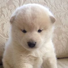 Cream Shiba Inu puppy.