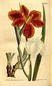 8492 Iris fulva Ker Gawl. / Curtis's Botanical Magazine, vol. 36: t. 1496 (1812) [S.T. Edwards]