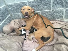 Someone Dumped This Pit Bull Mom And Her Newborn Puppies In Front Of A Shelter