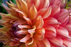 """""""Dahlia Art Print Golden"""" by Soulful Photos, Midwest, USA //  // Imagekind.com -- Buy stunning fine art prints, framed prints and canvas prints directly from independent working artists and photographers."""
