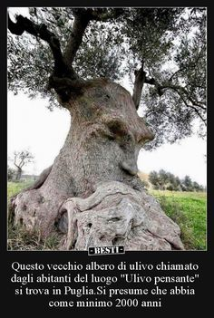 """""""Thinking Tree"""" an ancient olive tree in Puglia Italy.The """"Thinking Tree"""" an ancient olive tree in Puglia Italy. Beautiful World, Beautiful Places, Weird Trees, Unique Trees, Old Trees, Olive Tree, Tree Art, Nature Pictures, Amazing Nature"""