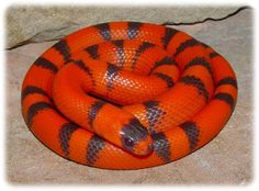 A stunning Honduran milksnake, Lampropeltis triangulum hondurensis Spiders And Snakes, Cool Snakes, Colorful Snakes, Colorful Animals, Milk Snake, Cute Snake, Python Snake, Beautiful Snakes, Rare Animals