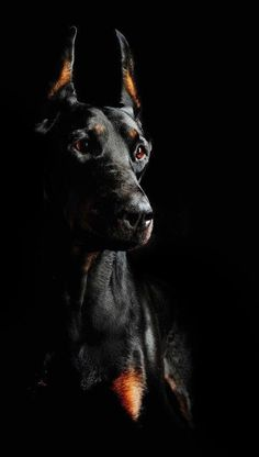 The Doberman Pinscher is among the most popular breed of dogs in the world. Known for its intelligence and loyalty, the Pinscher is both a police- favorite bree Black Doberman, Doberman Love, Beautiful Dogs, Animals Beautiful, Cute Animals, Dobermann Tattoo, Doberman Pinscher Dog, Wild Dogs, Service Dogs