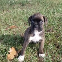 Kayla Boxer Puppy 615364 Puppyspot In 2020 Boxer Puppies For Sale Boxer Puppies Puppies