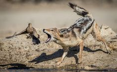 A close call for a bird as it narrowly escapes being eaten by a jackal beside a watering hole in the Kgalagadi Park in South Africa photographed by Corlette Wessels