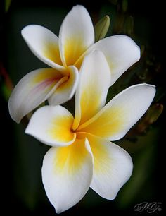 Plumeria another one of my flowers in getting inked! 2 of 8