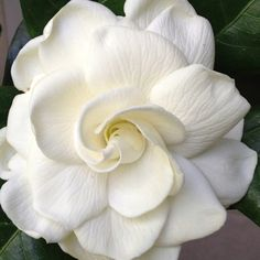 313 best gardenias and magnolias images on pinterest in 2018 gardenia aakriti tayal a white gardenia a white gardenia if i sent you a white gardenia what would you think would you understand its complex beauty mightylinksfo