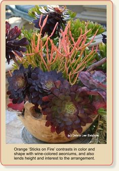 succulent container gardens photo gallery | Succulent Container Gardens By Debra Lee Baldwin The tiny garden is a ...