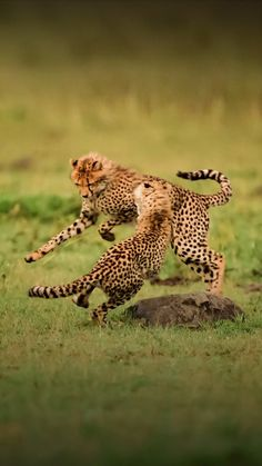 (*) Twitter Reptiles, Mammals, Big Cats, Cats And Kittens, Serious Cat, Cheetah Cubs, Cheetahs, All About Cats, Domestic Cat