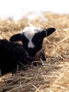 Country Baby Goat