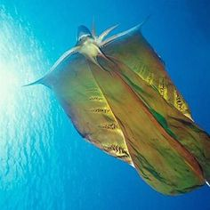 Blanket Octopus: Females of this genus have a webbing that connects some of their arms. Fascinating!