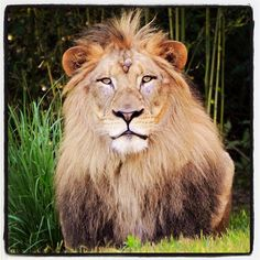"""African lion """"John"""" got his first look at his new yard this a.m. Africa opens 6/29."""