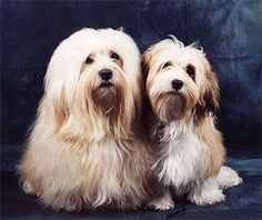 Havanese - The dog from Cuba