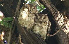 Indian Scops Owl (Otus bakkamoena). A medium (smaller than the Collared) sized scops owl with large conspicuous ear-tufts. Has a distinct nuchal collar and also a second collar on nape. The male has a regular spaced what….what… call. Also a series of slowly repeated ackackackack…. on an ascending scale. Found from NW India east to West Bengal. Prefers well-wooded country. Seldom seen in daytime except at its roost. Feeds chiefly on nocturnal insects.