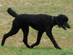 Standard poodle. Literally one of the best dogs you could ever own! I loved working with this breed.