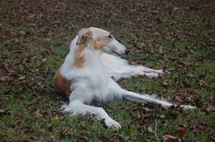 borzoi   Nothing can lounge quite like a Borzoi who is tired from crazily ...