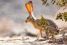 Jack Rabbits - Genus