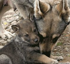 Help keep endangered wolves alive!   Here's How: www.greatergood.me/1gaX9J0