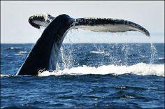 Humpback Whale off the coast of St. Anthonys, Newfoundland!