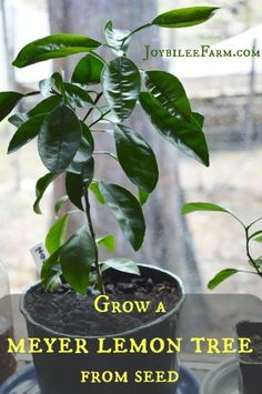 Grow a Meyer lemon tree | A Meyer lemon tree can be grown from seed in a container if you know how to prepare and care for the tree once it has germinated.