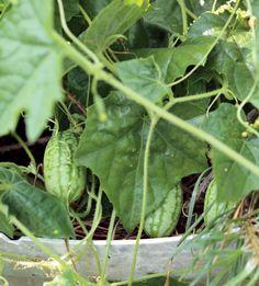Viidakkokurkku on kotoisin Etelä-Amerikasta. Se tuottaa parisenttisiä raidallisia hedelmiä, joita voi paistaa tai säilöä. Kasvi on monivuotinen ja talvehtii hyvin viileässä, valoisassa paikassa.