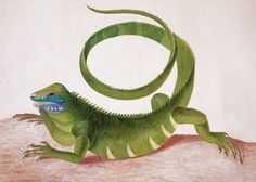 Antique Iguana in art by Maria Sibylla Merian