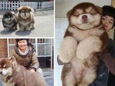 8. It is a cross between the Chow Chow & the Husky123456789101112  German Shepherd & Shar-pei mix 123456789101112