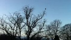 Hungry crows collectively plan their next move in frost-hardened Perth. Footage from eagled-eyed Irene Gunnion, Duchess of Bowerswell
