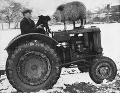 1937: A farmer, who is bringing food supplies to animals in snow-covered fields, stops to play with two lambs and their mother, on his farm at Rumney, near Cardiff, Wales. Getty Images