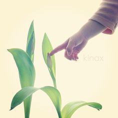 *  The bud of the tulip came out  *  蕾がついたよ(๑′ᴗ‵๑)  *  ちびっこがなぁに?って聞くので、お花が咲くんだよ、って教えてあげたら  わんこに「おはながしゃくんだよー」って教えてあげてたよʕ •́؈•̀ ₎  * - @kinax- #webstagram