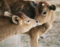 kissing cows